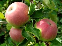Growing apples Stock Photography