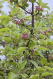 Growing apples Stock Images
