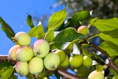 Growing apples Stock Photos