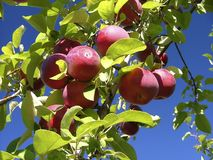 Growing apples and blue sky. Apples in an apple tree royalty free stock photo