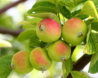 Growing apples Royalty Free Stock Photos