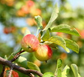 Growing apples Royalty Free Stock Image