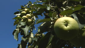 Growing apples. Branch with apples close-up. Focus in / focus out stock footage