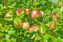 Growing of apples Royalty Free Stock Image
