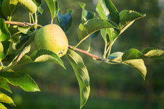 Growing Apples - Farming Royalty Free Stock Photography