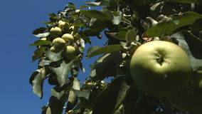 Growing apples. 2 Shots. Close-up. 1. Apple tree stock video footage