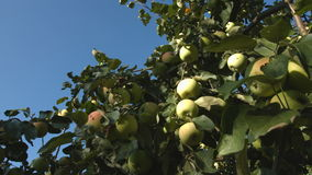 Growing apples. 2 Shots. Close-up. 1. Apple tree. Camera movement from branch to branch right to left stock video footage