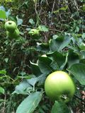 Growing apples. These are some growing english cooking apples on the tree showing the leafs royalty free stock photo