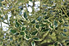 Growing Aquifoliaceae holly bush with lovely green leaves. Aquifoliaceae holly bush with lovely green leaves, evergreen healthy growing plant royalty free stock image