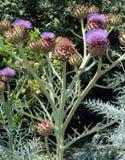 Growing Artichoke vegetable Royalty Free Stock Photos