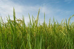 Growing asian rice and green grass field Royalty Free Stock Photo