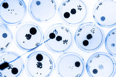 Growing Bacteria in Petri Dishes. Royalty Free Stock Photo
