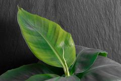 Growing Banana Tree in Black Rock Background. Growing young banana tree in front of the black rock background royalty free stock photo