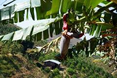 Growing bananas Stock Image
