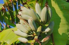 GROWING BANANAS. Green bananas growing on tree Royalty Free Stock Image