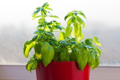 Growing basil plant in flower pot. On window sill Royalty Free Stock Images