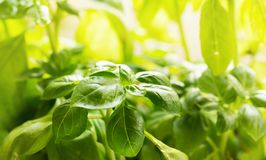 Growing basil plant in flower pot. On window sill Stock Photo