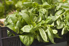 Growing basil Stock Photos