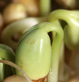 Growing bean Royalty Free Stock Images