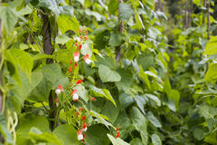 Growing the beans (Phaseolus vulgaris) Stock Photography