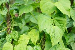 Growing the beans (Phaseolus vulgaris) Stock Image