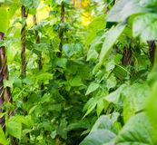 Growing the beans (Phaseolus vulgaris) Royalty Free Stock Photo