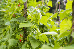 Growing the beans (Phaseolus vulgaris) Stock Images