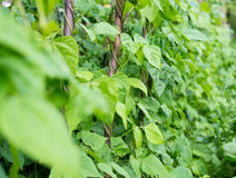 Growing the beans (Phaseolus vulgaris) Royalty Free Stock Photography