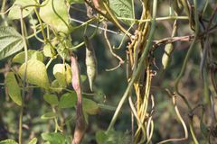 Growing the beans, stalks of a string bean on poles in garden closeup Royalty Free Stock Photos