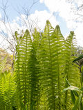 Growing Beautiful Green Fern in a Garden in Spring with Sky and Royalty Free Stock Photos