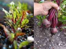 Growing Beetroot Royalty Free Stock Photography