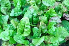 Growing beetroots in garden Stock Image