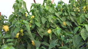 Growing bell pepper on a farm. Rows of paprika pepper plants growing at greenhouse stock footage