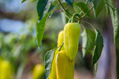 Growing the bell peppers capsicum. Unripe peppers in the veget. Able garden.Green peppers growing in the garden.Bell peppers hanging on tree in farm.Plantations stock photography
