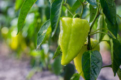 Growing the bell peppers capsicum. Unripe peppers in the veget. Able garden.Green peppers growing in the garden.Bell peppers hanging on tree in farm.Plantations stock photos