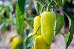 Growing the bell peppers capsicum. Unripe peppers in the veget. Able garden.Green peppers growing in the garden.Bell peppers hanging on tree in farm.Plantations stock image