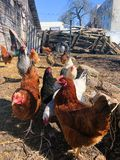 Growing bio chickens in a village. Colourful hens and roosters. Free-range chicken on an organic farm.  royalty free stock image