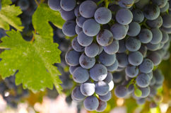 Growing bio grapes. In the northern Bulgaria Royalty Free Stock Image