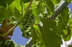 Growing bio grapes Stock Photos