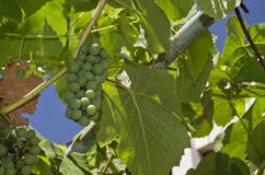 Growing bio grapes Royalty Free Stock Images