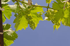 Growing bio grapes Stock Photography