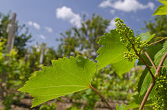 Growing bio grapes Stock Images