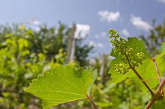 Growing bio grapes Royalty Free Stock Photo