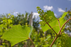 Growing bio grapes Stock Photography