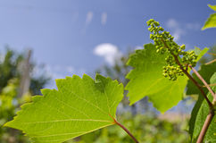 Growing bio grapes Royalty Free Stock Image