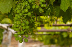Growing bio grapes Royalty Free Stock Photography
