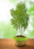 Growing birch tree. In decorative pot Royalty Free Stock Photo