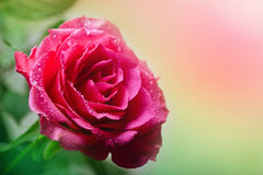 Growing and Blooming Roses Stock Photos