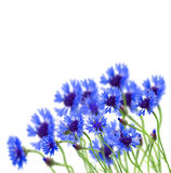 Growing blue corn flower Royalty Free Stock Photos