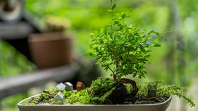 Growing Bonsai Plant At Home stock image